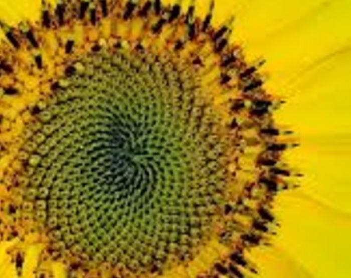Bild på exempel på Fibonacci system: blomma solros
